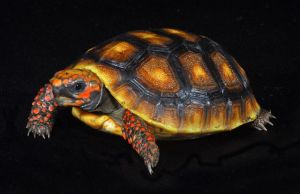 Redfoot_Tortoise