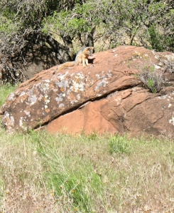 Fox on a big rock hunting for breakfast
