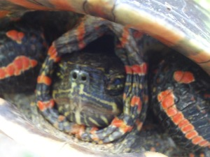 Face of a painted turtle