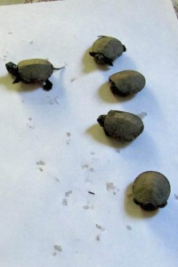 Five turtles
