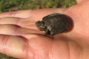 baby painted turtle in hand