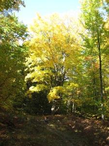 Maple tree in fall on Mid-Michigan bike trail